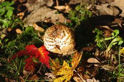Freckled Dapperling (Lepiota aspera) Stock Photography