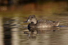 Freckled duck, Stictonetta naevosa Royalty Free Stock Photography