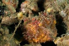 Freckled frogfish in Ambon, Maluku, de onderwaterfoto van Indonesië Stock Foto's