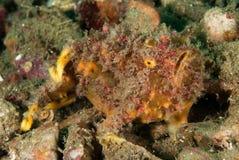 Freckled frogfish in Ambon, Maluku, de onderwaterfoto van Indonesië Royalty-vrije Stock Foto's