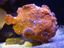 Freckled frogfish (commersoni Antennarius) Stock Afbeelding