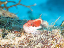 Freckled hawfish on coral reef Royalty Free Stock Images