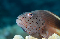 Freckled Hawk fish Royalty Free Stock Photos