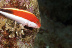 Freckled hawkfish Royalty Free Stock Photo