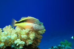 Freckled Hawkfish Stock Photos