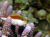 Freckled hawkfish Royalty Free Stock Image