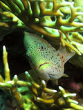 Freckled hawkfish Royalty Free Stock Images