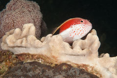 Freckled hawkfish Stock Photo