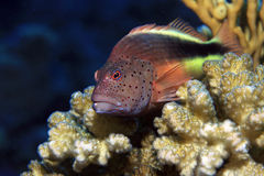 Free Freckled Hawkfish Stock Images - 22508144