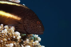 Freckled hawkfish Stock Images