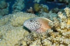 freckled hawkfish Стоковое Изображение RF