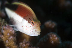 Freckled hawkfish close-up. Royalty Free Stock Image