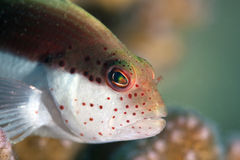 Freckled Hawkfish Close-up. Royalty Free Stock Photos