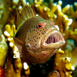 Freckled Hawkfish - Paracirrhites forsteri. Resting on fire coral royalty free stock photography