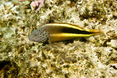 Freckled hawkfish (paracirrhites forsteri). Taken in Middle Garden Stock Images