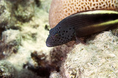 Free Freckled Hawkfish (paracirrhites Forsteri) Stock Photos - 6687103