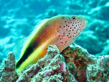 Freckled hawkfish Royalty Free Stock Photography