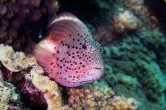 Freckled Hawkfish - Pixy Hawkfish royalty free stock photography