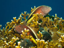 Freckled hawkfish resting in a coral Stock Photo