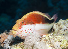 Freckled hawkfish on a tropical coral reef Royalty Free Stock Images