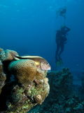 Freckled hawkfish watching diver at decompression stop Stock Image