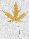 Freckled Maple Leaf. Golden Maple Leaf drawing and background Stock Photography