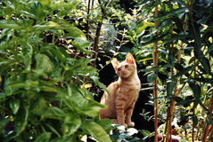 Fred the Jungle Cat. Actually it's not a jungle, it's a grouping of houseplants on a deck. His small size and the angle of the shot makes for a deceiving picture stock images