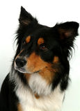 Freddie #1. Scottish Collie dog Royalty Free Stock Photo
