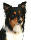 Freddie. Scottish Collie Dog Royalty Free Stock Image