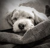 Sleeping Lhasa Apso Monochromatic Portrait royalty free stock photography