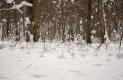 Freddo in foresta nell'inverno Immagine Stock