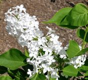 Frederick Law Olmsted Lilac immagine stock