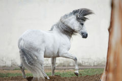 Free andalusian horse against white background Stock Photos
