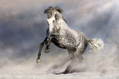 Free andalusian horse. Beautiful grey horse with long mane in motion Royalty Free Stock Photos