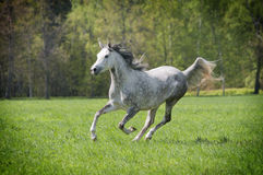 Free arab horse. In field Royalty Free Stock Photo