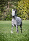 Free arab horse. Running free Royalty Free Stock Photos