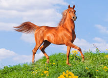 Free arab horse Royalty Free Stock Image