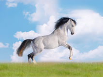 Free arab horse in field Royalty Free Stock Photography