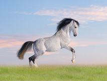 Free arab horse in field Royalty Free Stock Photos