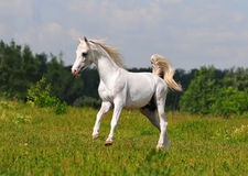 Free arab horse in field. Free arab horse in the field Royalty Free Stock Photos