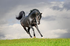 Free arab horse in field Royalty Free Stock Photo