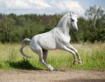 Free arab horse in summer field Stock Photo