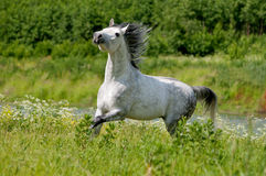 Free arab horse in summer field. The free arab horse in summer field Stock Image