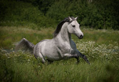 Free arab horse in summer field Royalty Free Stock Images