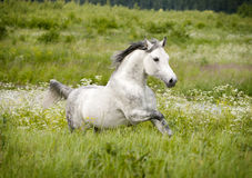 Free arab horse in summer field Royalty Free Stock Photos