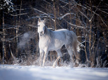 Free arabian horse runs free in field Stock Images