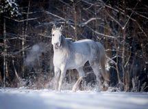 Free arabian horse runs free in field Stock Images