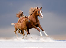 Free arabian mare and foal in winter field Royalty Free Stock Image