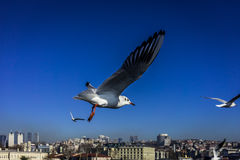 Free as a bird... A shot of seagulls in flight flying over Istanbul, Turkey Royalty Free Stock Photos