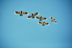Free as birds Royalty Free Stock Photo